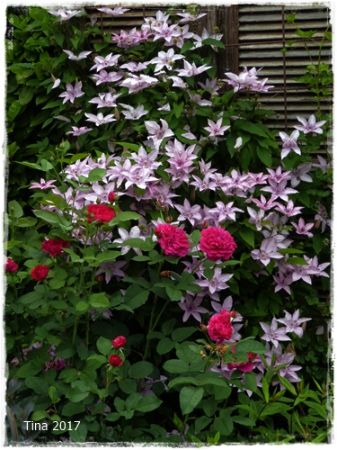 noch eine clerotische kombination rose darcey bussell und clematis hagley hybride im. Black Bedroom Furniture Sets. Home Design Ideas